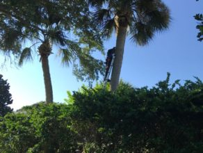 A men climbing a lader to prune a palm tree