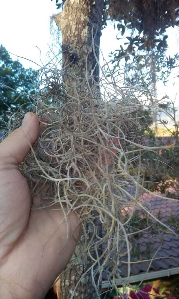 Removing Spanish moss by hand
