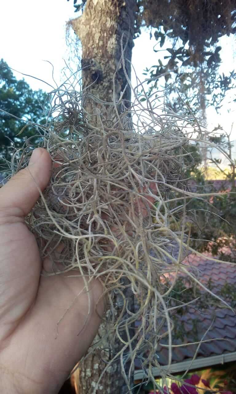 Learn If Spanish Moss Is Bad For Trees And Find Its Growing