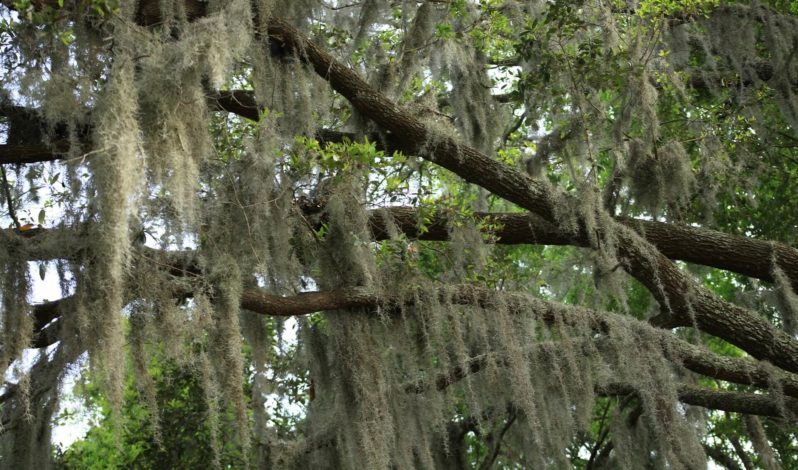 Spanish moss is not bad for trees