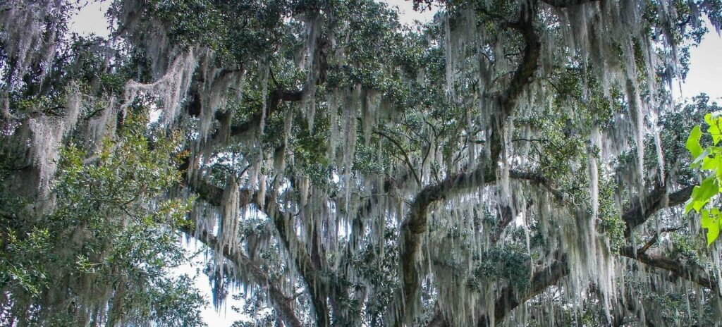 Tree were Spanish moss is growing